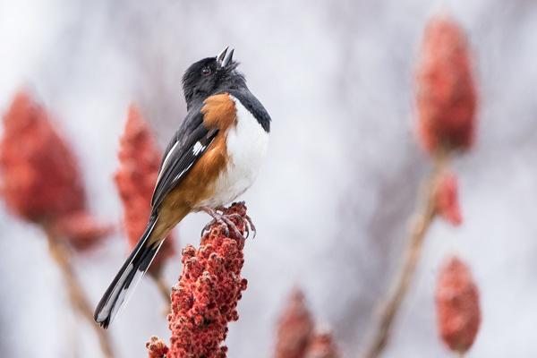 photo of an Eastern Towhee