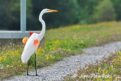 photo of a tagged Great Egret