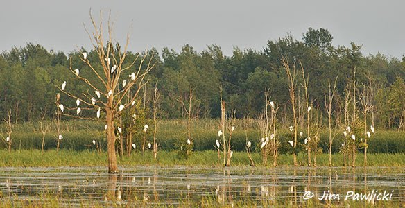 photo of a Great Egret Roost